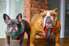 Frenchie and English Bulldog dog harness