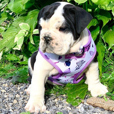 English Bulldog puppy in Frenchiestore dog health harness