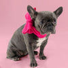 Frenchie Hund