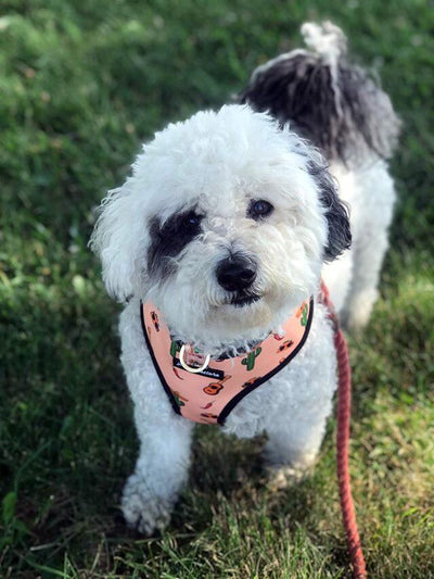 Maltipoo dog harness