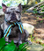 Frenchiestore Pet Scarf | Livin 'La Vida Frenchie