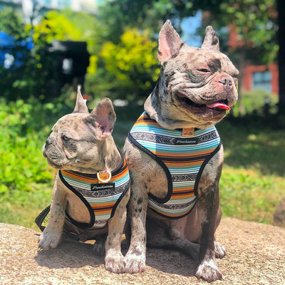 rare merle french bulldogs wearing health harness by frenchiestore livin la vida frenchie collection
