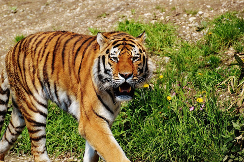 Save an animal, Bucket list, bracelets, Tiger