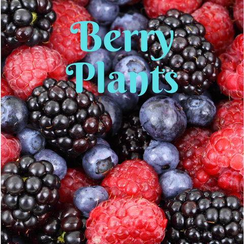 Edible Berry & Grape Plants - America's Gardens