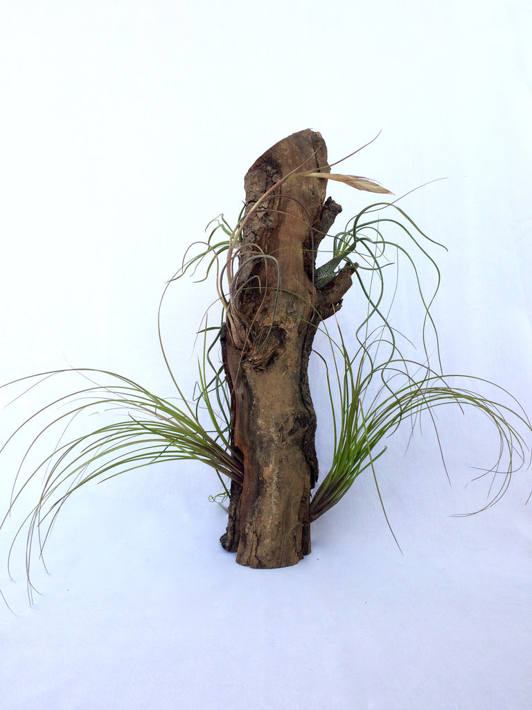 Driftwood Air Plant Planter, Large - America's Gardens