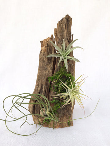 Driftwood Air Plant Planter, Small - America's Gardens