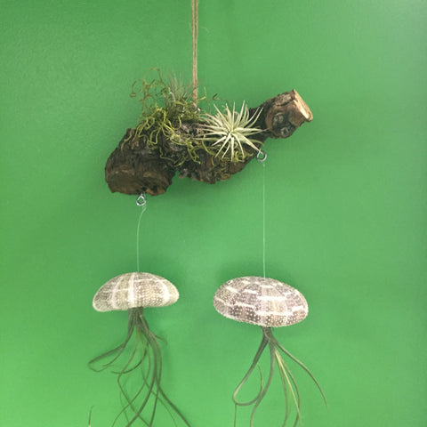 Sea Urchin Air Plant Mobile, Large Shells - America's Gardens