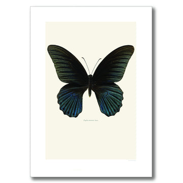 BLACK GREAT MORMON BUTTERFLY | PRINT