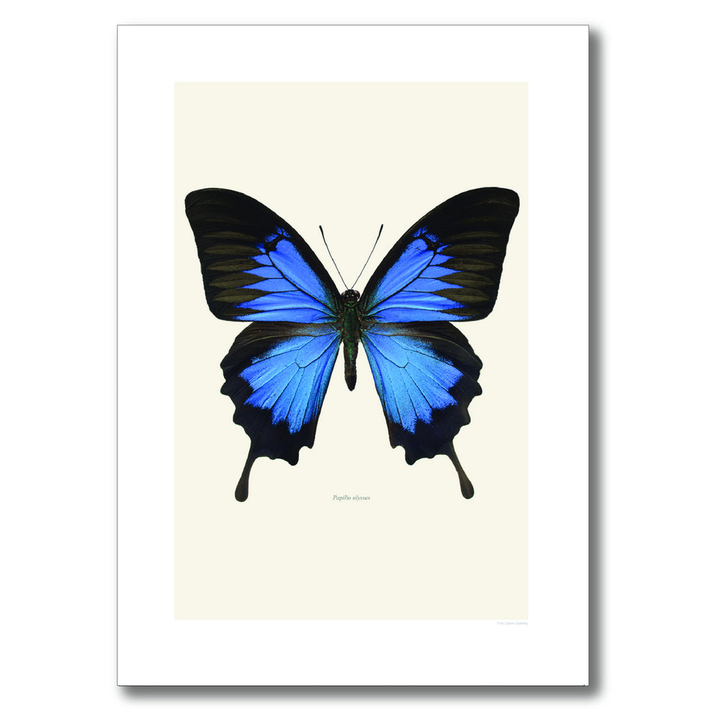 BLUE MOUNTAIN SWALLOWTAIL BUTTERFLY | PRINT