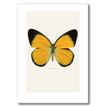 GOLDEN JEZEBEL BUTTERFLY | PRINT
