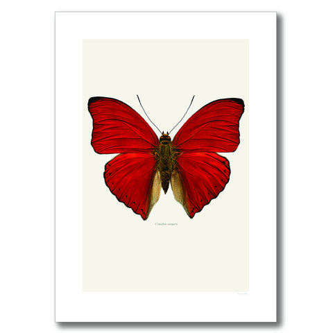 BLOOD RED GLIDER BUTTERFLY | PRINT