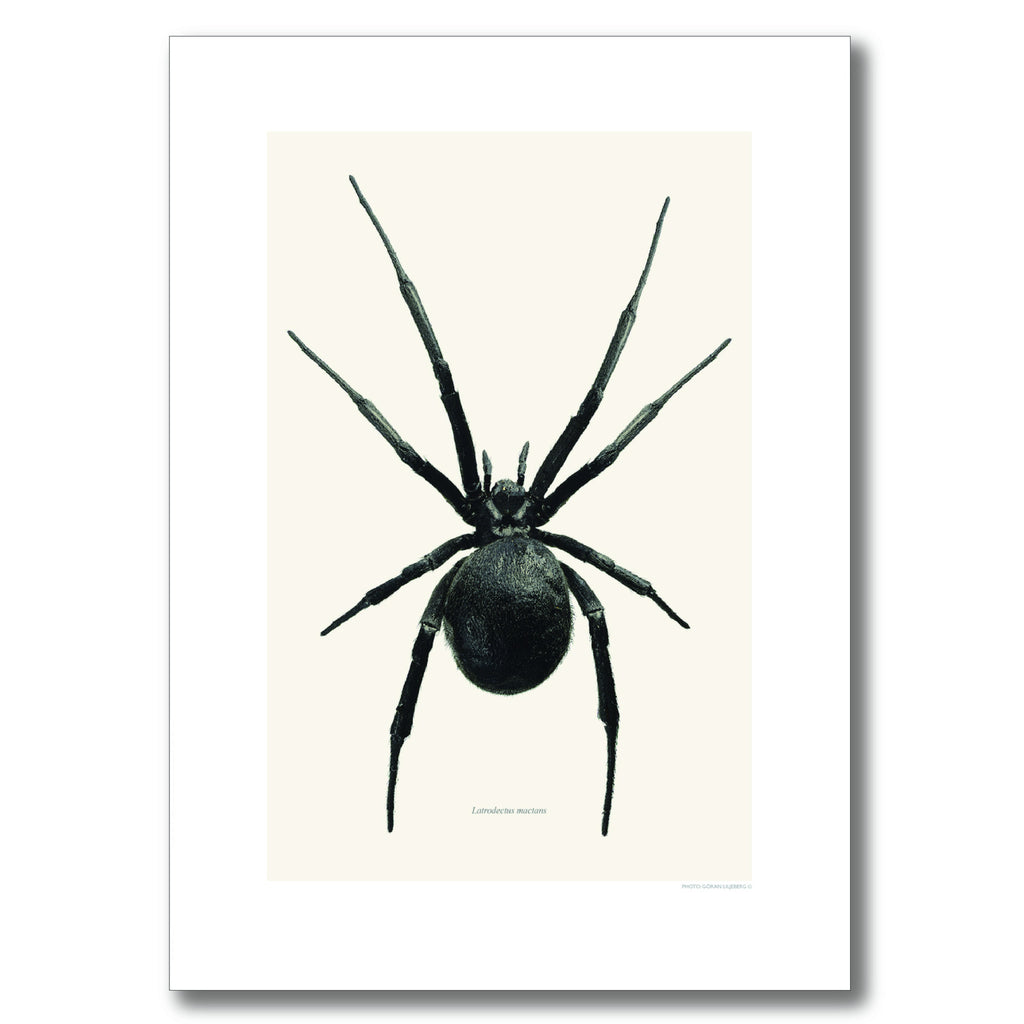 BLACK WIDOW SPIDER | PRINT