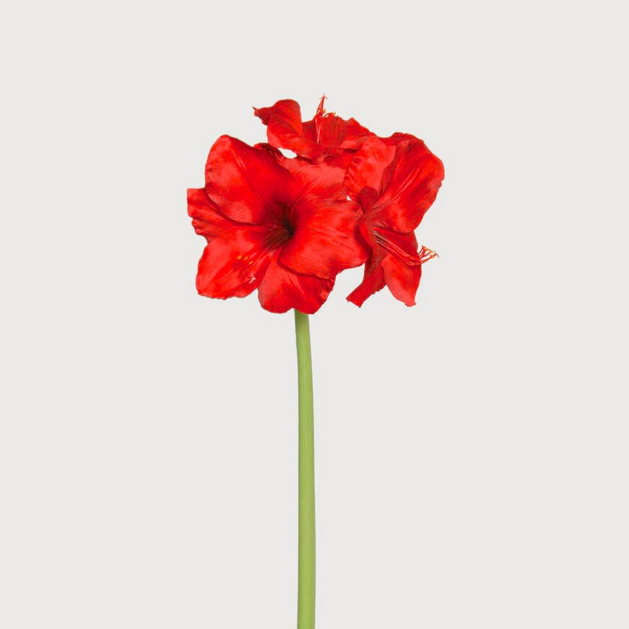 GIANT RED AMARYLLIS