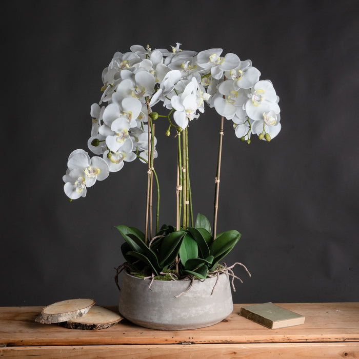 Tall 90cm White Orchid Phalaenopis In Grey Stone Pot