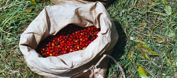 Papua New Guinea Purosa A Single Origin Specialty Coffee