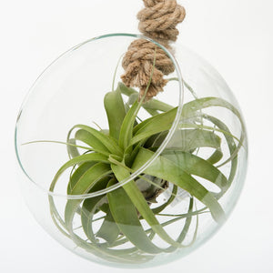 Tillandsia Xerographica or Air Plant