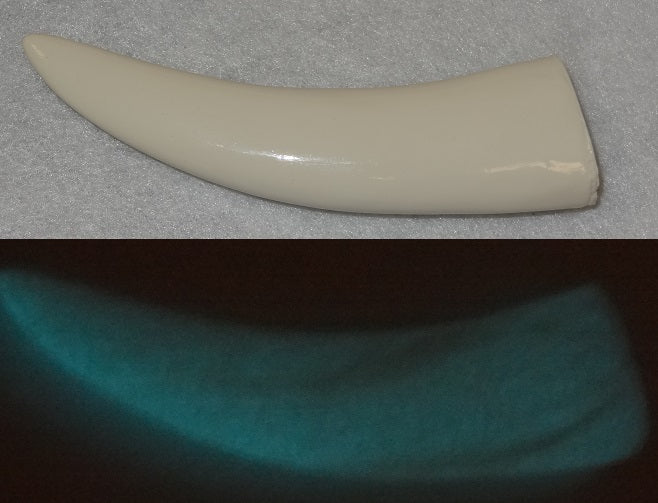 Opaque Glow in the Dark Toony Saber Teeth *Sold per Tooth*