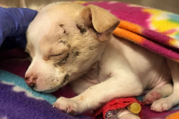 Tiny Puppy Miraculously Survives After Being Snatched By a Hawk and Dropped From the Sky
