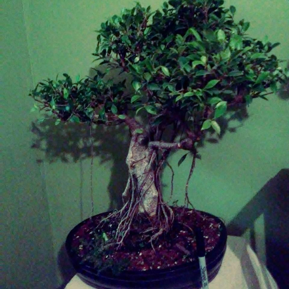 Tiger Bark Ficus Bonsai Tree - Ficus Retusa