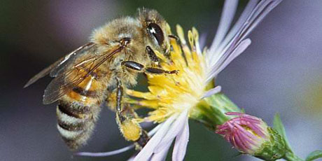 We Are Loosing Bees Due To Lack Of Schumann Frequency Caused By Electromagnetic Radaition