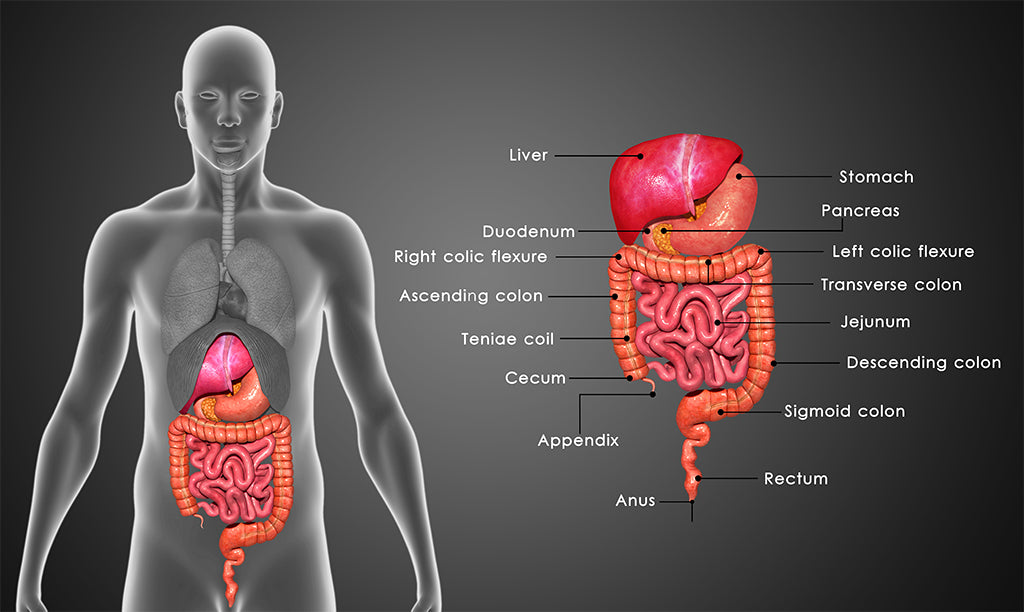 Blood glucose control in the digestive system