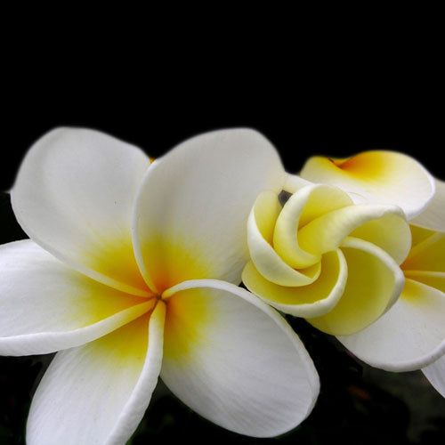 Plumeria Fragrance Oil - Sameh Zahda Custom Hair Care