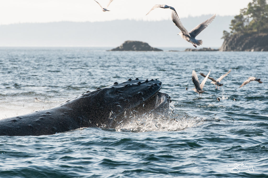 Humpback Domino Lunge Feeding