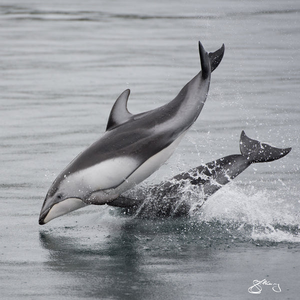 Square Canvas - Pacific White-Sided Dolphins in the rain