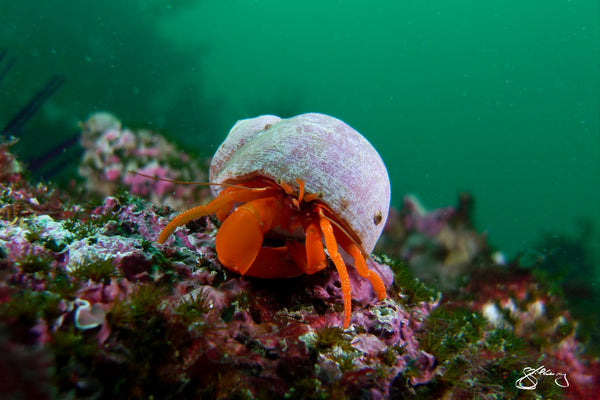 Canvas - Hermit Crab (Orange Hermit Crab)