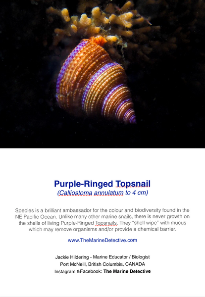 Purple-Ringed Topsnail
