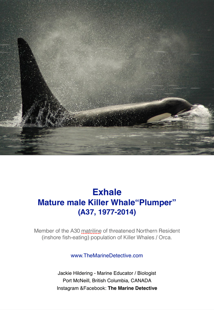 "Exhale - ""Plumper"" (Northern Resident Orca)"
