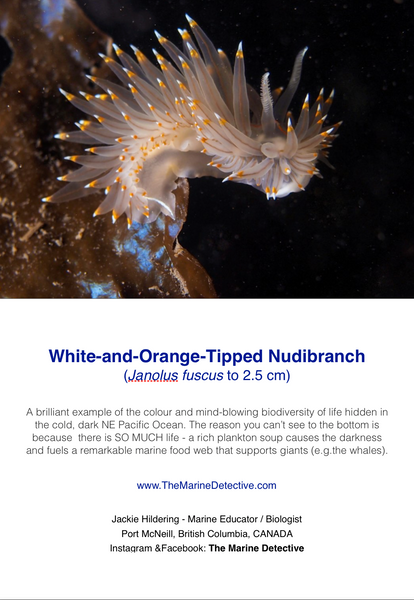 White-and-Orange-Tipped Nudibranch