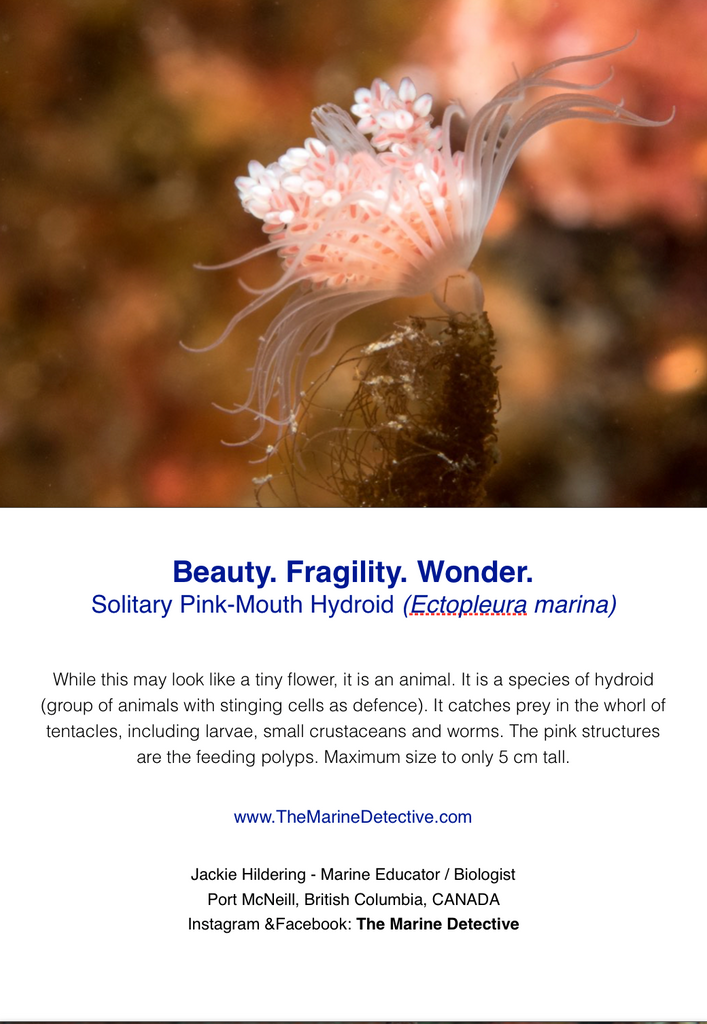 Beauty. Fragility. Wonder. - Solitary Pink-Mouth Hydroid