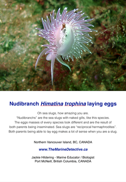 Nudibranch Himatina trophina laying eggs