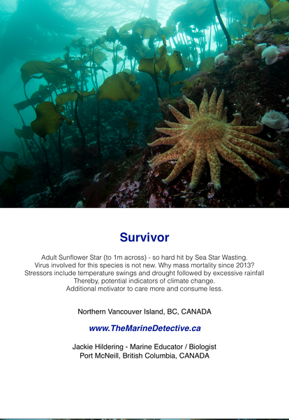 Survivor - Sunflower Star
