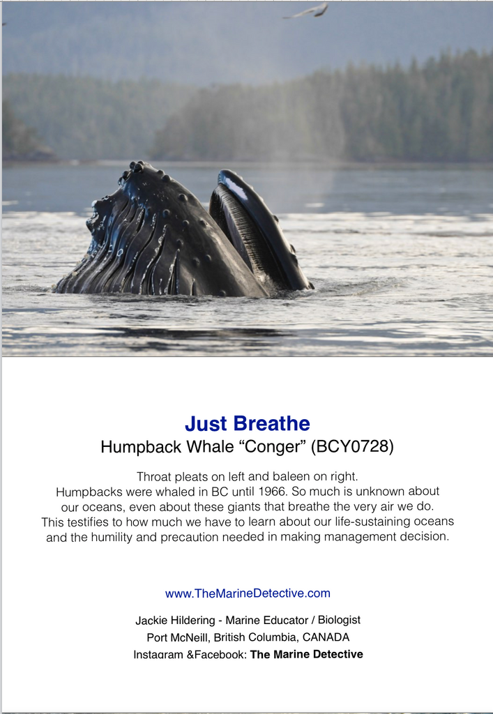 Just Breathe - Humpback Whale Conger
