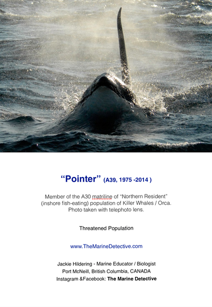 Pointer - A39 (Northern Resident Orca)