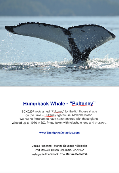 Humpback Whale - Pulteney