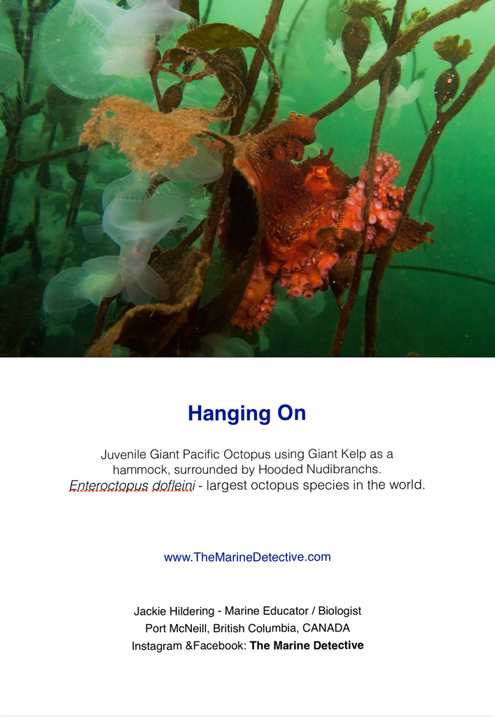 Hanging On - Giant Pacific Octopus