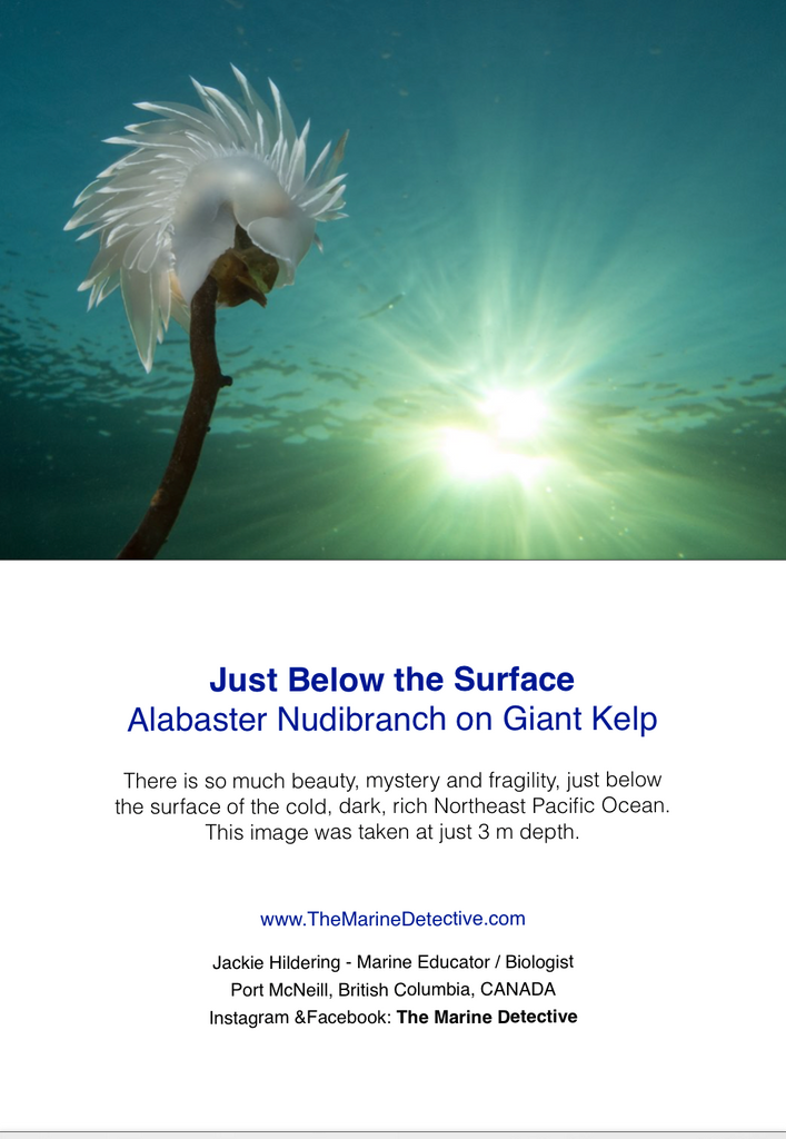 Alabaster Nudibranch - Just Below the Surface