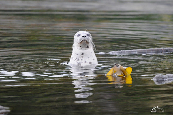 Canvas - Pacific Harbour Seal in Kelp Forest