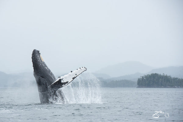 *Canvas - Humpback Jigger Breaching