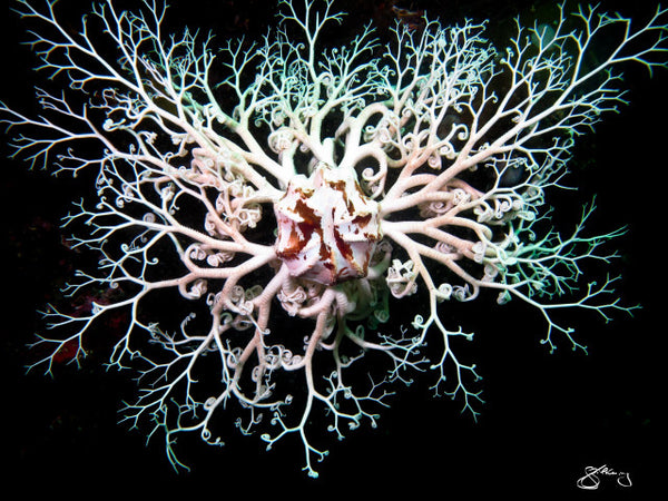 Basket Star