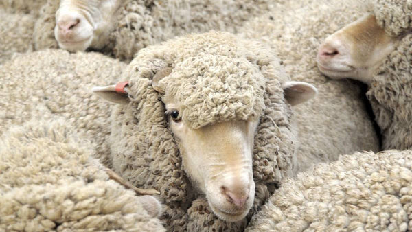 IS WOOL VEGAN?