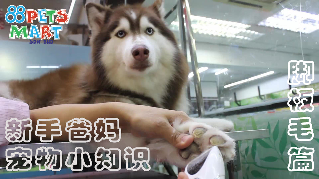 如何修剪狗的脚板毛 | How To Trim Or Shave Your Dog's Paw Hair Safely