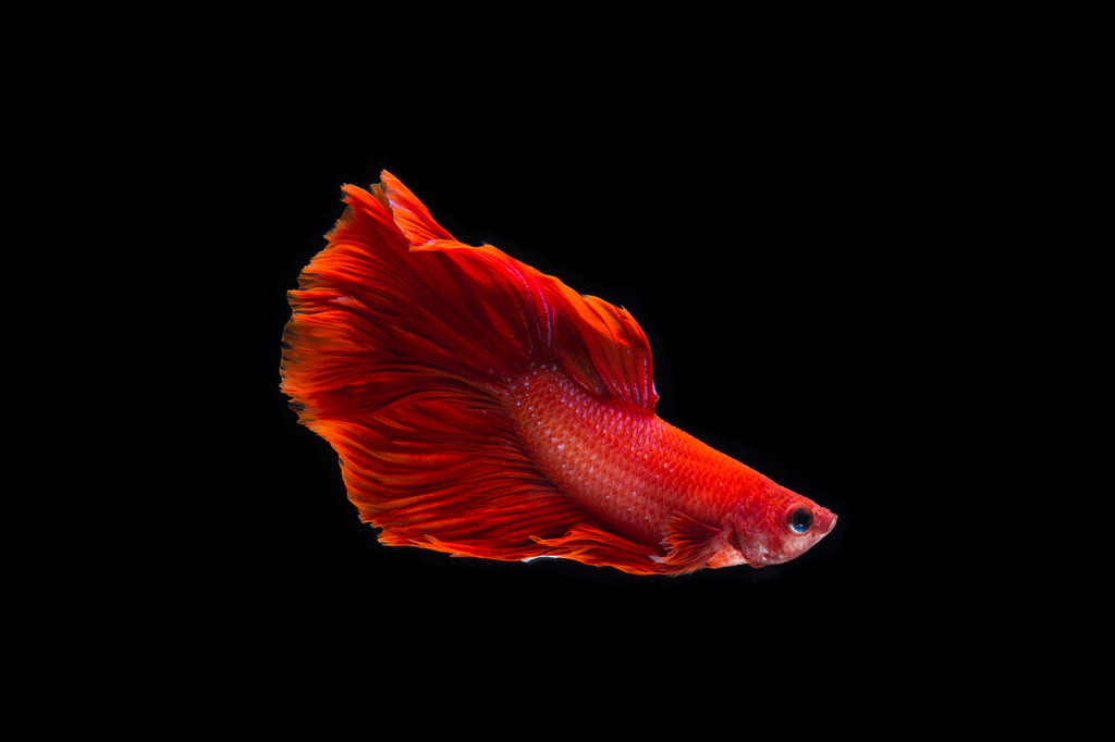 Why Is Your Fighting Fish Dying And How To Save It