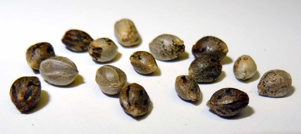Selecting the Proper Seeds For Growing Marijuana
