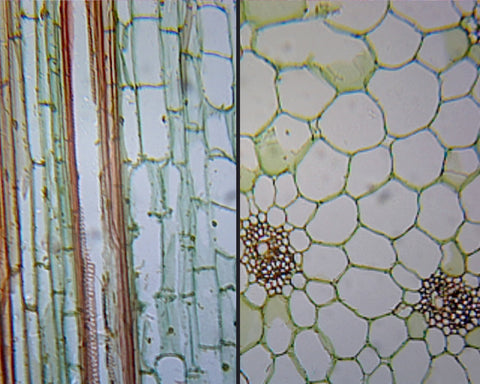 Zea Mays (Corn) Stem; Cross Section and Longitudinal Section