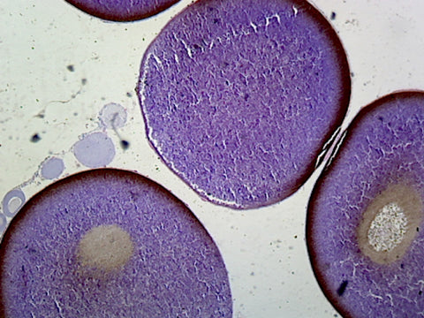 Frog Ovary; Section; H&E Stain