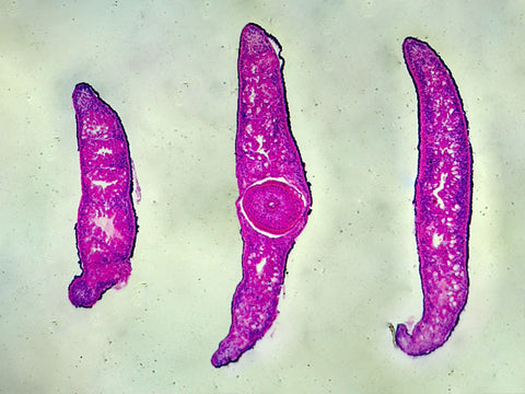 Planaria, Three Different Regions: Showing Anterior, Middle, and Posterior Region; Cross Section